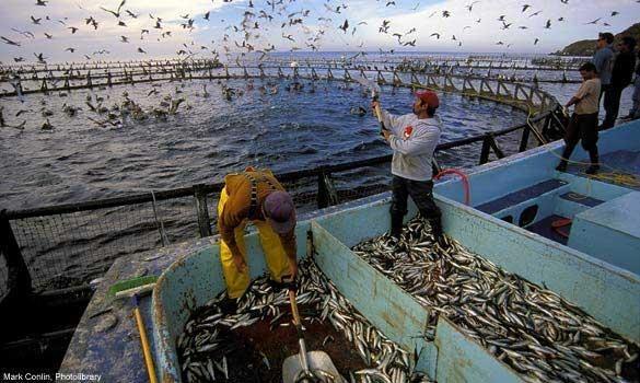Homes recollendo peixe nas instalacións acuícolas